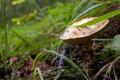 Картинка трава, листья, ветки, белый гриб
