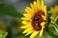 Картинка лето, солнце, настроение, подсолнух, пчёлы