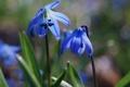 Картинка подснежники, весна, трава, природа, макро, синие, цветы