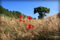 Картинка поле, небо, деревья, цветы, маки