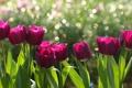 Картинка тюльпаны, лепестки, цветы