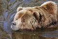 Картинка морда, вода, медведь, купание, мишка