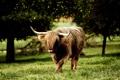 Картинка бык, Beef Jerky Teriyaki, вайоминг