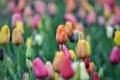 Картинка природа, весна, тюльпаны