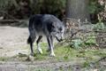 Картинка трава, ветки, чёрный, волк, хищник
