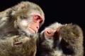 Картинка две, обезьяны, мартышки
