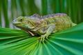Картинка зелень, взгляд, чешуя, ящерица, ткань, игуана