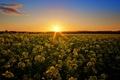 Картинка поле, небо, солнце, закат, цветы, природа, фото