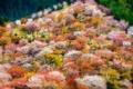 Картинка вишня, весна, Япония, сакура, гора Ёсино, префектура Нара