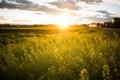 Картинка поле, трава, солнце, пейзаж