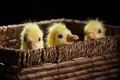 Картинка птицы, корзина, гусята