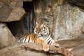 Картинка кошка, тигр, камни, отдых, амурский