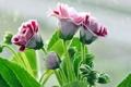 Картинка цветы, фон, глоксинии