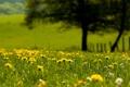 Картинка лето, трава, цветы, одуванчики, боке