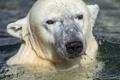 Картинка морда, вода, купание, белый медведь, полярный, ©Tambako The Jaguar