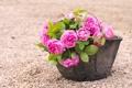 Картинка горшок, галька, розы, розовые, цветы