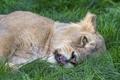 Картинка кошка, трава, морда, отдых, львица, ©Tambako The Jaguar