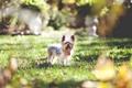 Картинка природа, газон, собака, терьер