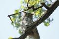Картинка природа, птица, Horn Owl