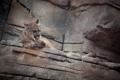 Картинка кошка, камни, пума, умывание, горный лев, кугуар