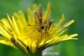 Картинка желтый, одуванчик, бабочка, лапки, усики