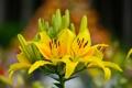 Картинка листья, лилии, желтые, бутоны, цветение