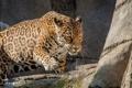 Картинка камни, скалы, хищник, ягуар, дикая кошка