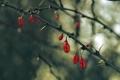 Картинка ветки, плоды, шипы, красные, кизил