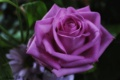 Картинка роза, макро, бутон