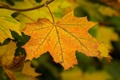 Картинка осень, лист, ветка, макро