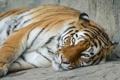Картинка морда, ©Tambako The Jaguar, амурский, отдых, тигр, взгляд, кошка