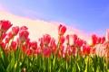 Картинка цветок, цветы, стебли, тюльпан, весна, тюльпаны, бутоны