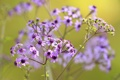 Картинка поле, природа, растение, лепестки, луг, соцветие