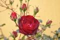 Картинка фон, роза, красная, бутоны