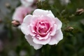 Картинка цветок, розовая, роза, красота, лепестки