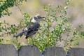 Картинка природа, птица, забор, mockingbird