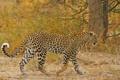 Картинка хищник, пятна, леопард, дикая кошка