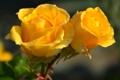 Картинка солнце, капли, цветы, розы, желтые