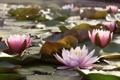 Картинка листья, вода, водяные лилии, water, leaves, water lilies