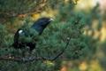 Картинка дерево, птица, ветка, глухарь, хвойная