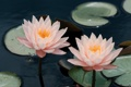 Картинка лилии, лепестки, кувшинки, цветы