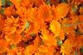 Картинка цветы, лепестки, бутоны