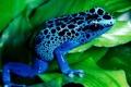 Картинка листья, лягушка, зеленые, окрас, синяя, леопардовый