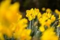 Картинка листья, макро, цветы, желтые, нарциссы