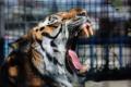 Картинка язык, морда, тигр, хищник, пасть, клыки, мех