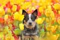 Картинка друг, тюльпаны, взгляд, собака