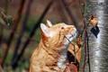 Картинка кот, дерево, рыжий, охота