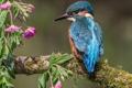 Картинка птица, зимородок, ветка, цветки