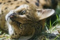 Картинка кошка, взгляд, морда, сервал, ©Tambako The Jaguar