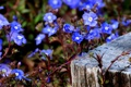 Картинка цветочки, голубенькие, макро